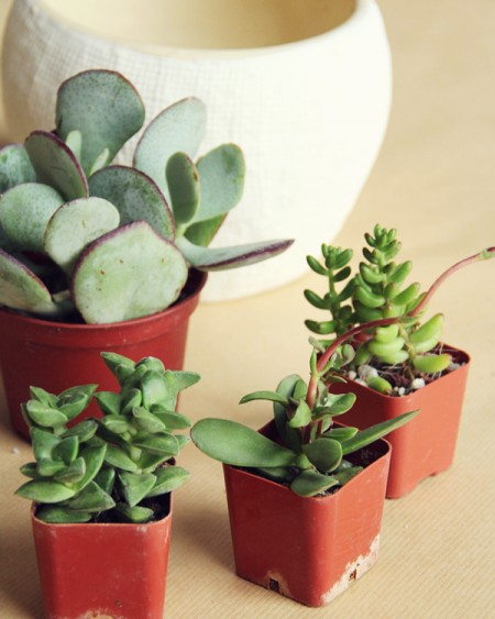 DIY Potted Succulents