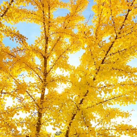 Yellow Fall Tree