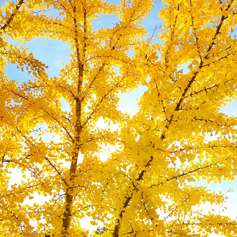 Yellow Fall Tree