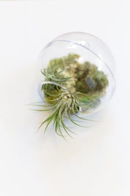 How to Make an Air Plant Terrarium