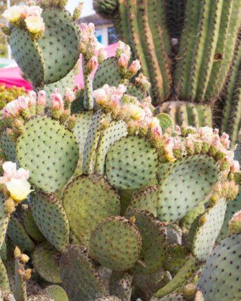 Cactus Flowers