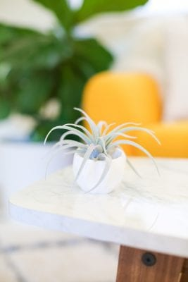 Air plant in white container