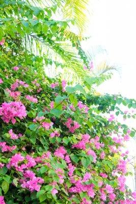Puerto Vallarta Bougainvillea
