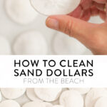 how to clean sand dollars